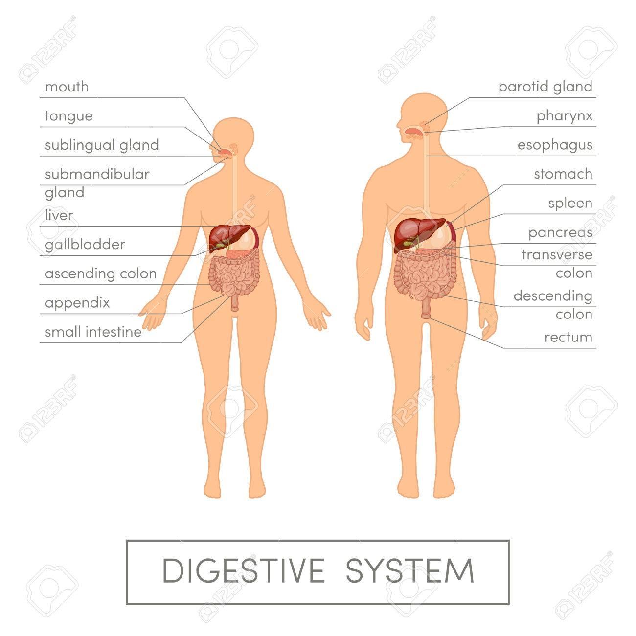 El Sistema Digestivo De Un Ser Humano. Ilustración Vectorial De ...