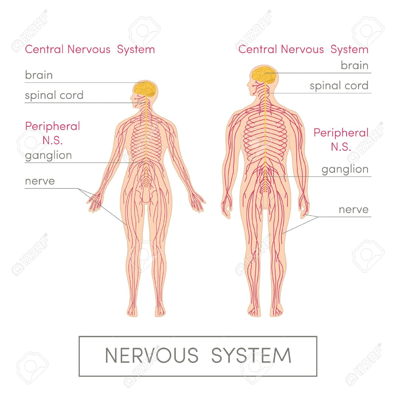 The Nervous System Of A Human Cartoon Vector Illustration For