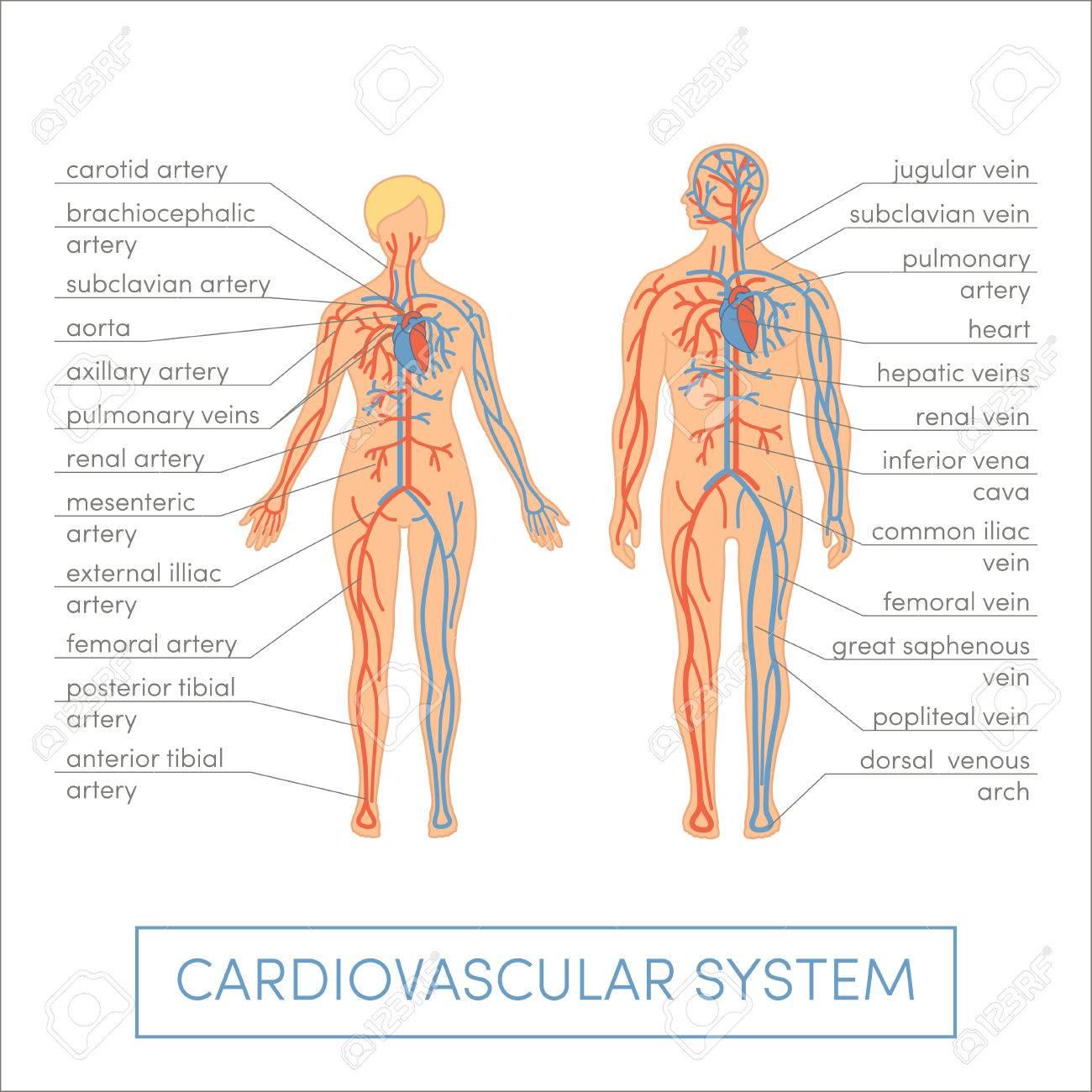 Herzkreislaufsystem Eines Menschen. Cartoon Vektor-Illustration Für ...