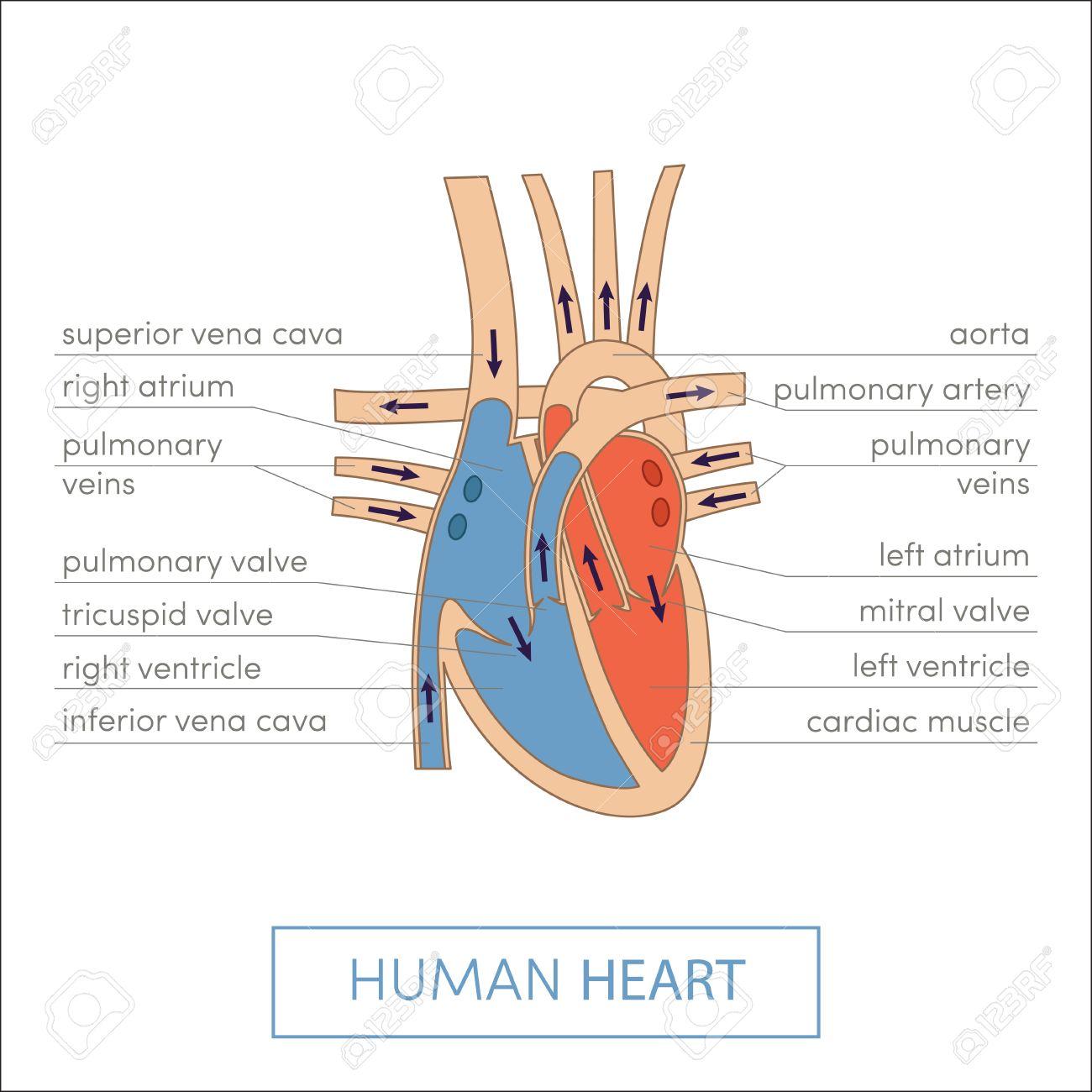 The Human Heart Anatomy. Cartoon Vector Illustration For Medical ...