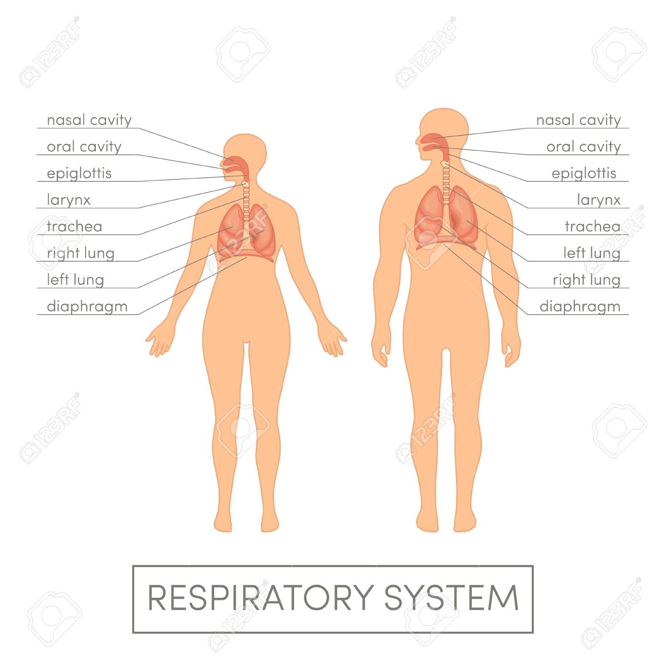 Respiratory System Of A Human. Cartoon Illustration For Medical ...