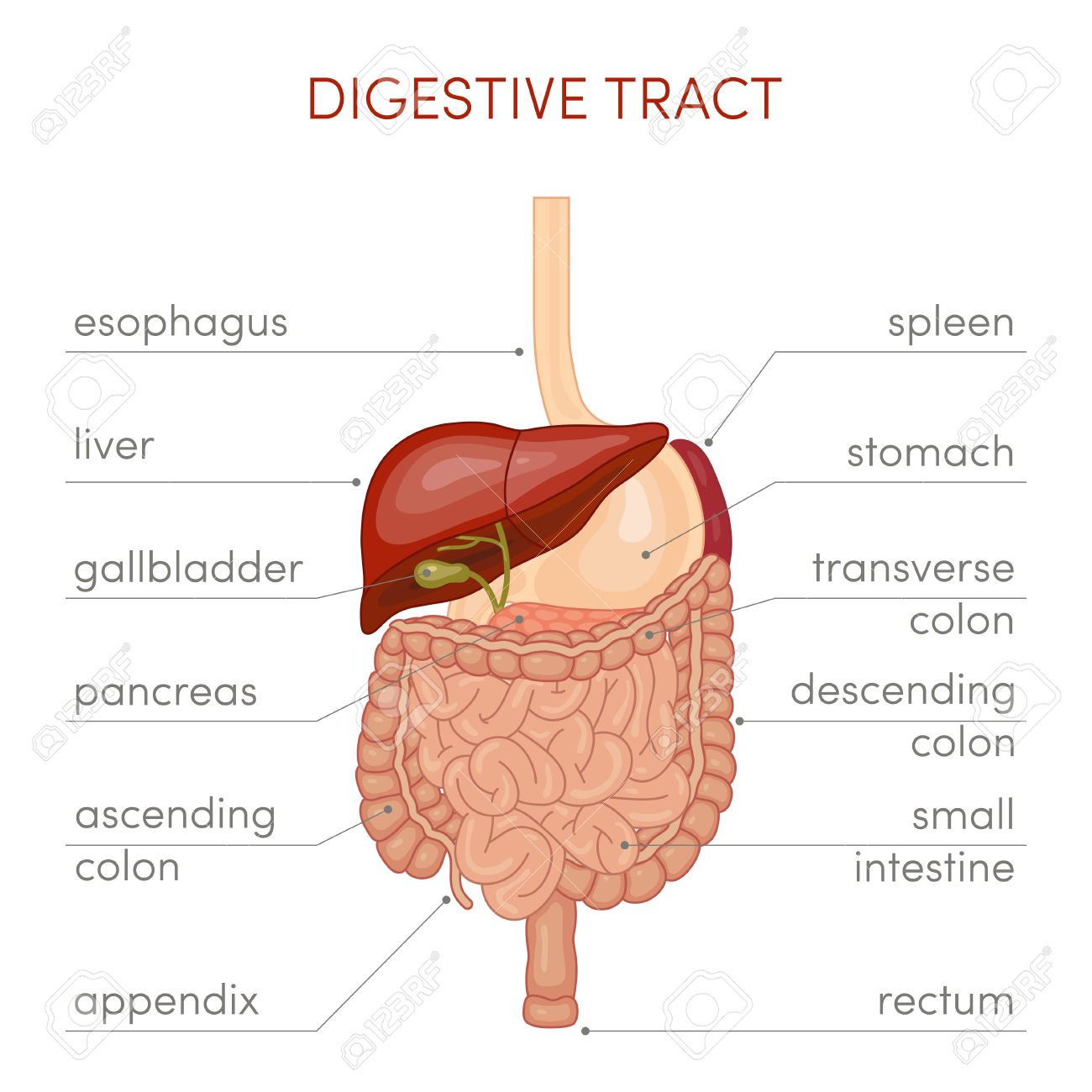 The Digestive Tract Of A Human. Cartoon Illustration For Medical ...