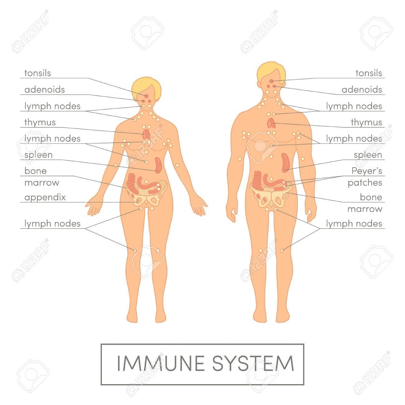 Immune System Of A Human. Cartoon Illustration For Medical Atlas ...