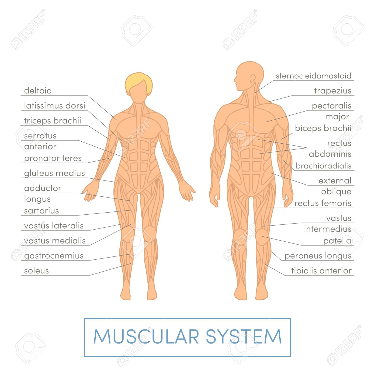 Muscular System Of A Human. Cartoon Illustration For Medical.. Stock ...