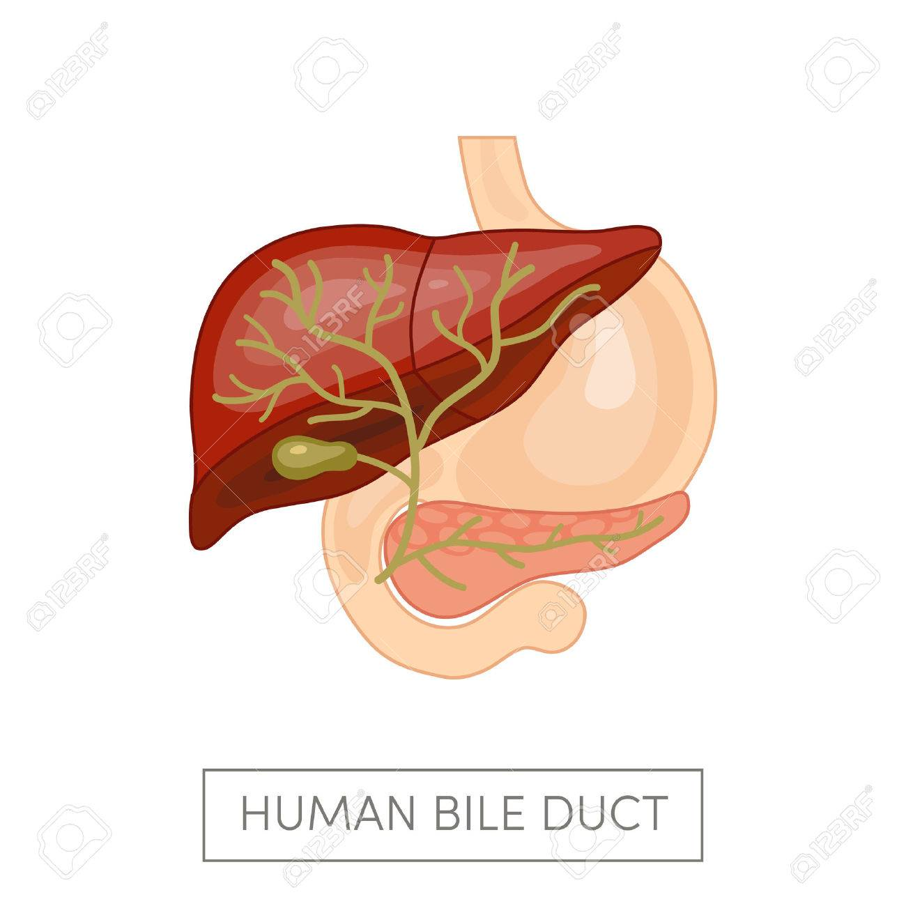 Gallbladder Duct Of A Human Surrounded Intestines Cartoon Vector