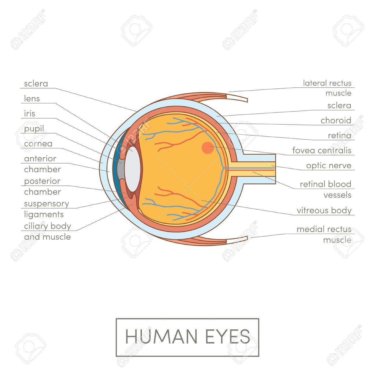 Menschliches Auge Anatomie. Cartoon Einfache Vektor-Illustration Für ...