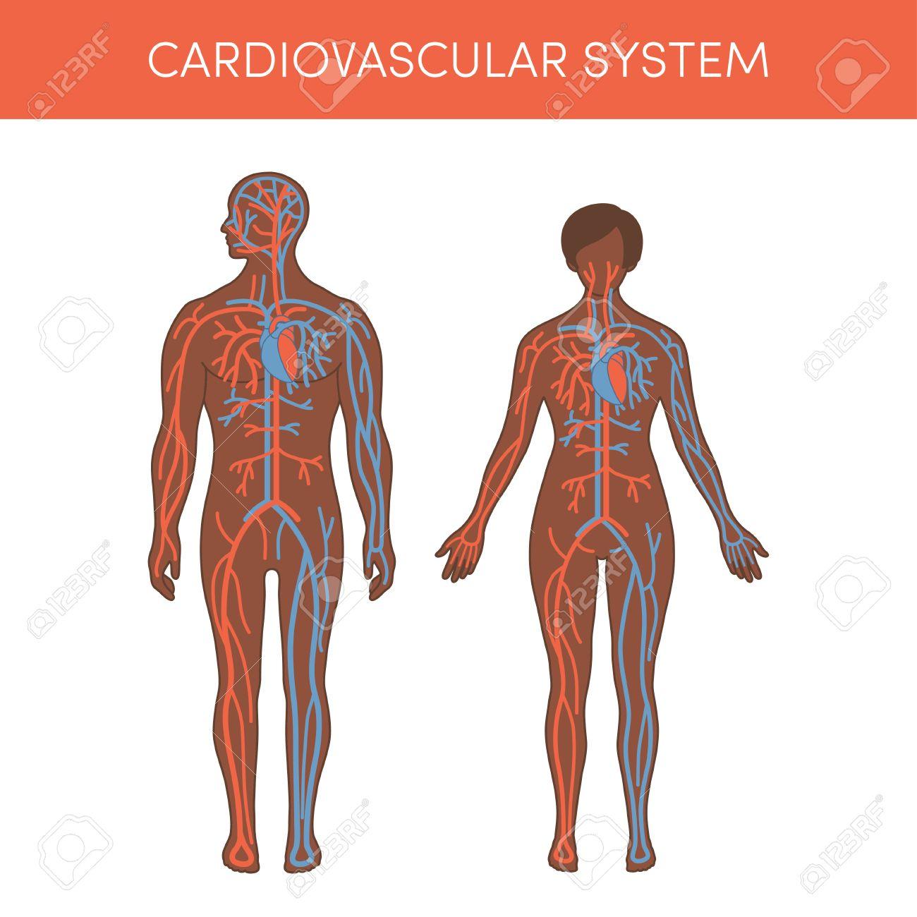 Sistema Cardiovascular De Un Humano. Ilustración Vectorial De ...