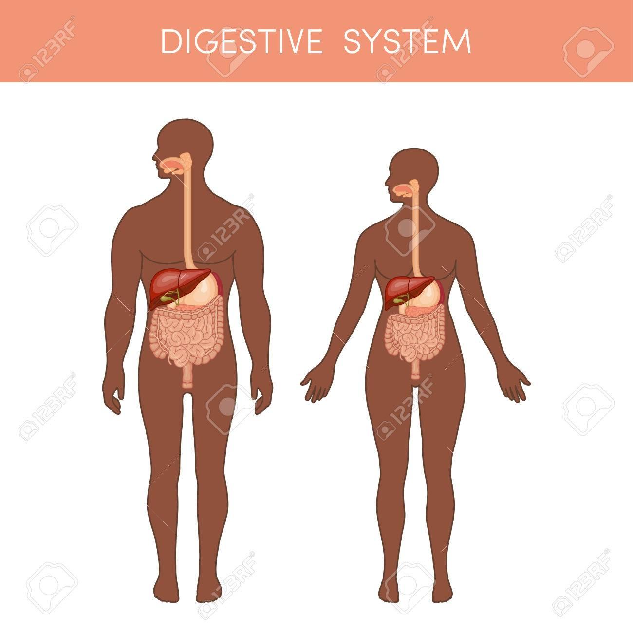 Fantastisch Das Verdauungssystem Des Menschlichen Körpers Fotos ...