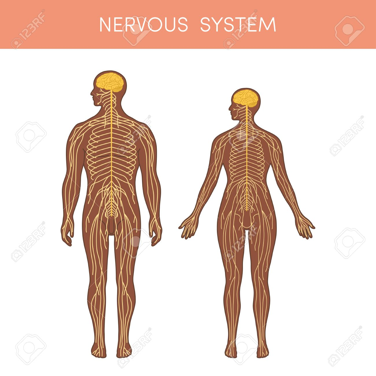 The Nervous System Of A Human. Cartoon Vector Illustration For ...