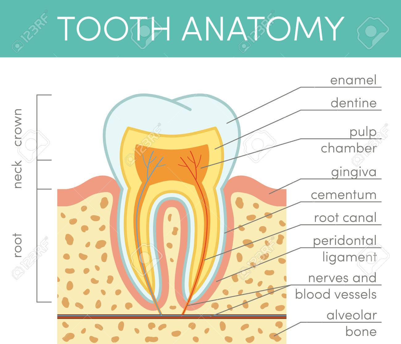 Human Tooth Anatomy. Vector Diagram Of Healthy Molar Royalty Free ...