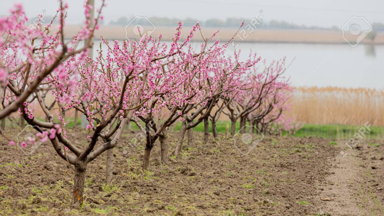 Photo Of Beautiful Blooming Trees With Wonderful Small Pink Flowers