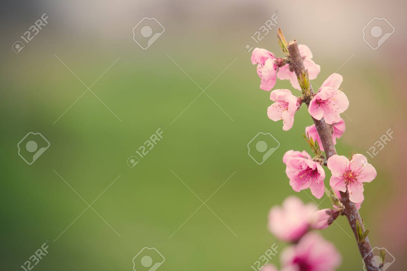 Photo Of Beautiful Blooming Tree With Wonderful Small Pink Flowers