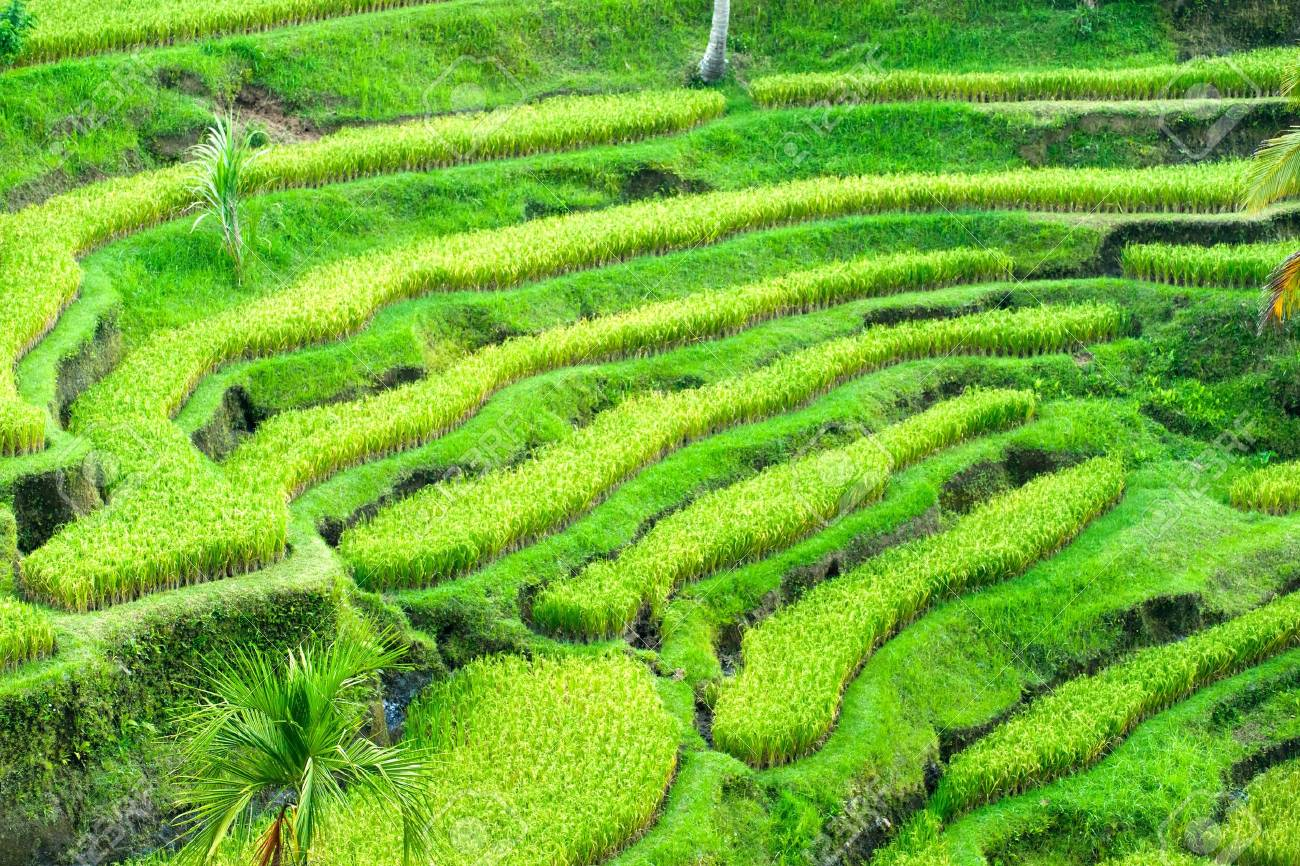 Amazing view of the Rice Terrace field, Ubud, Bali,  Indonesia. Stock Photo - 12102327