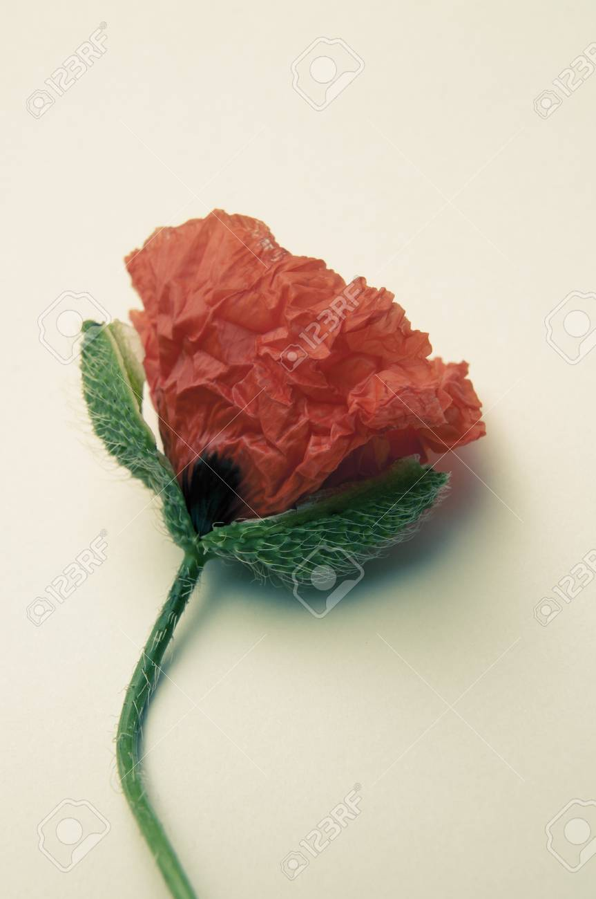 An Image Of Poppy Flower Stock Photo Picture And Royalty Free Image