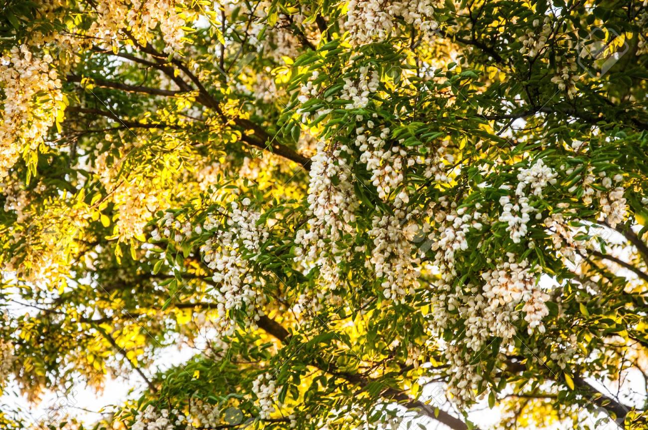 Acacia árbol De Flor En Junio Fotos Retratos Imágenes Y Fotografía