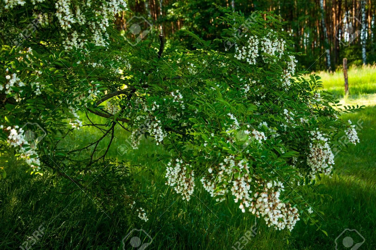 Acacia árbol En Flor En Junio Fotos Retratos Imágenes Y Fotografía