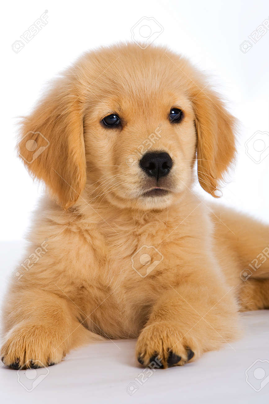 Golden Retriever Puppy Stock Photo Picture And Royalty Free Image Image 10026061