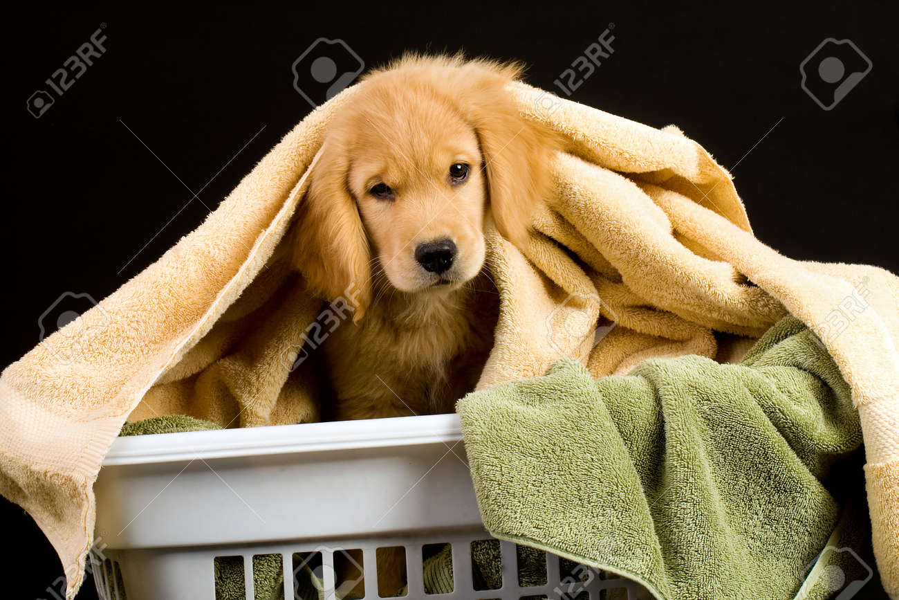Soft Golden Retriever Puppy Dog in a linen basket of towels Stock Photo - 10731992
