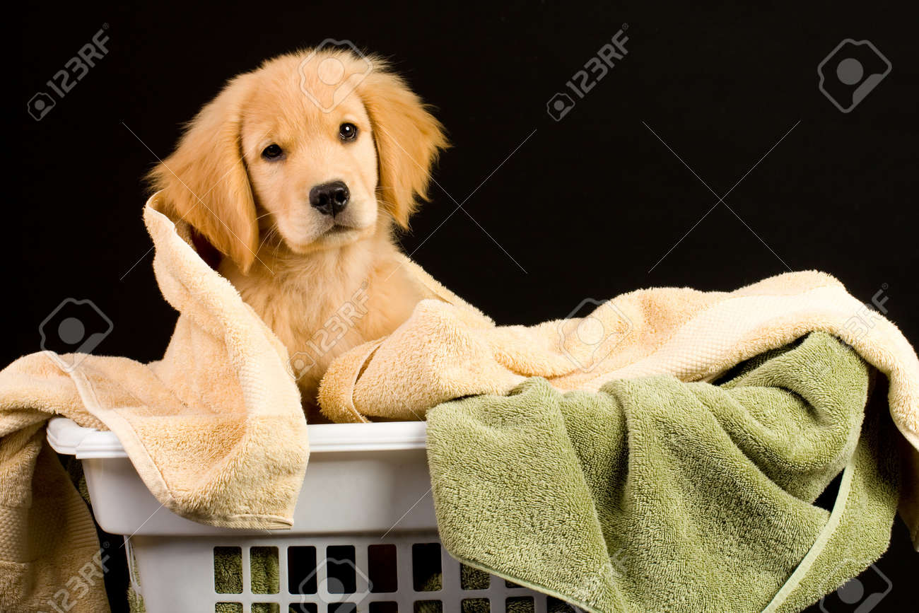 Soft Golden Retriever Puppy Dog in a linen basket of towels Stock Photo - 10731982