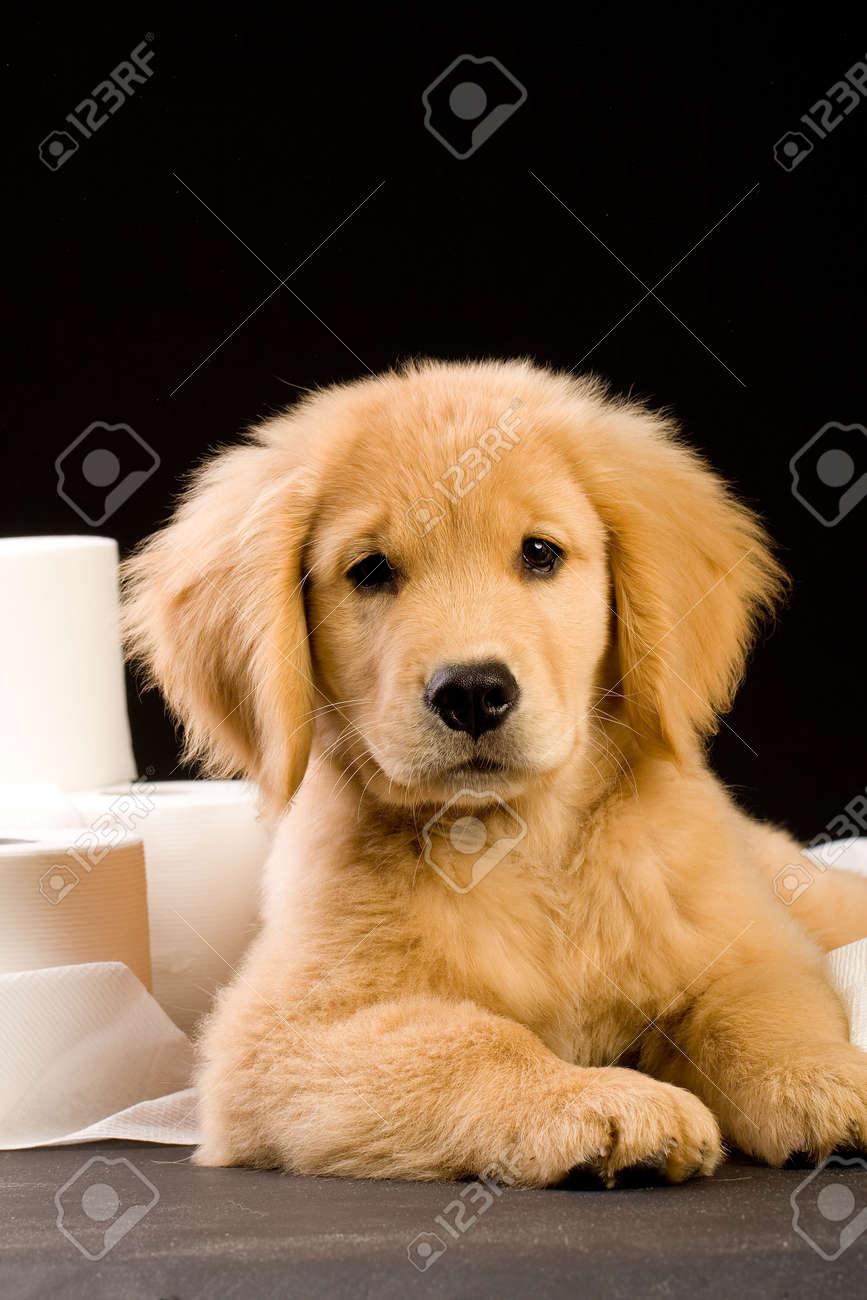 Cheap golden retriever puppies maine