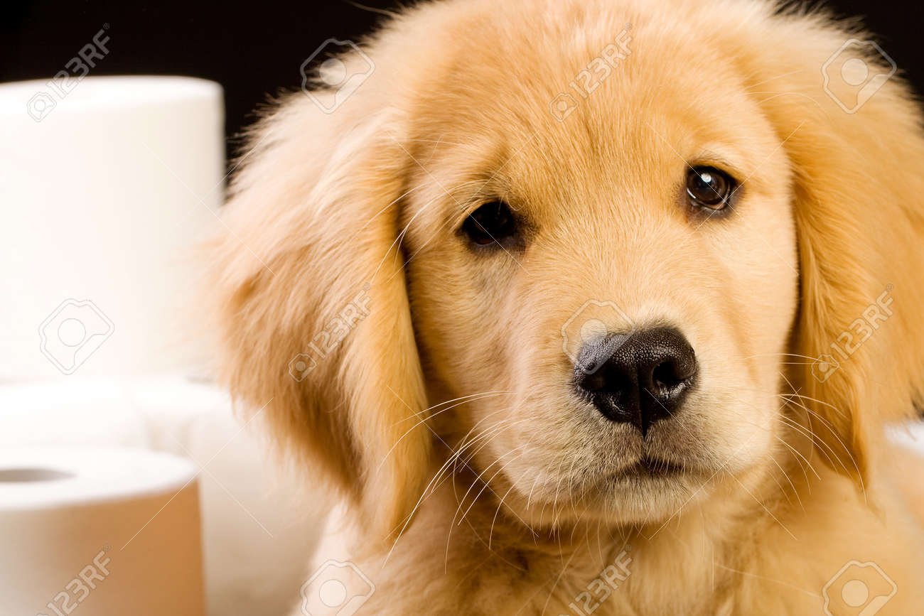 Soft Fluffy Golden Retriever Puppy Dog House Trained With Toilet