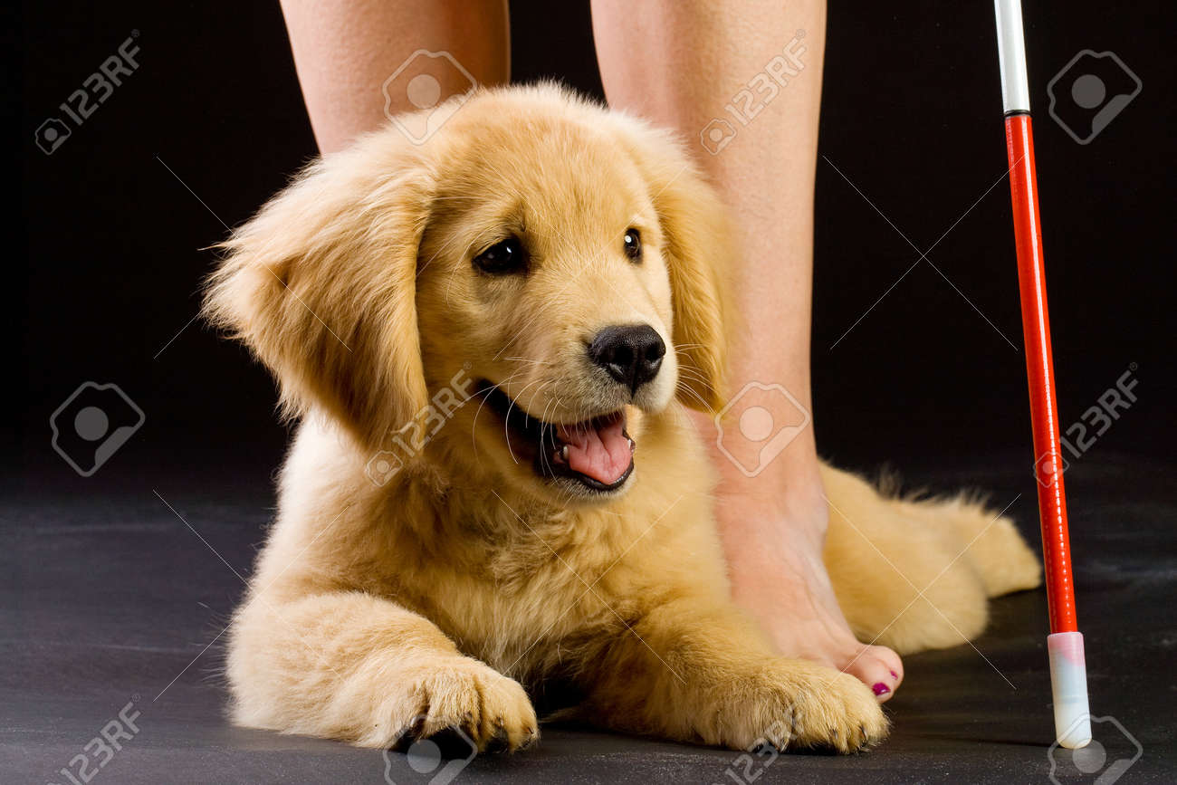 Guide Dog in Training Stock Photo - 10741444