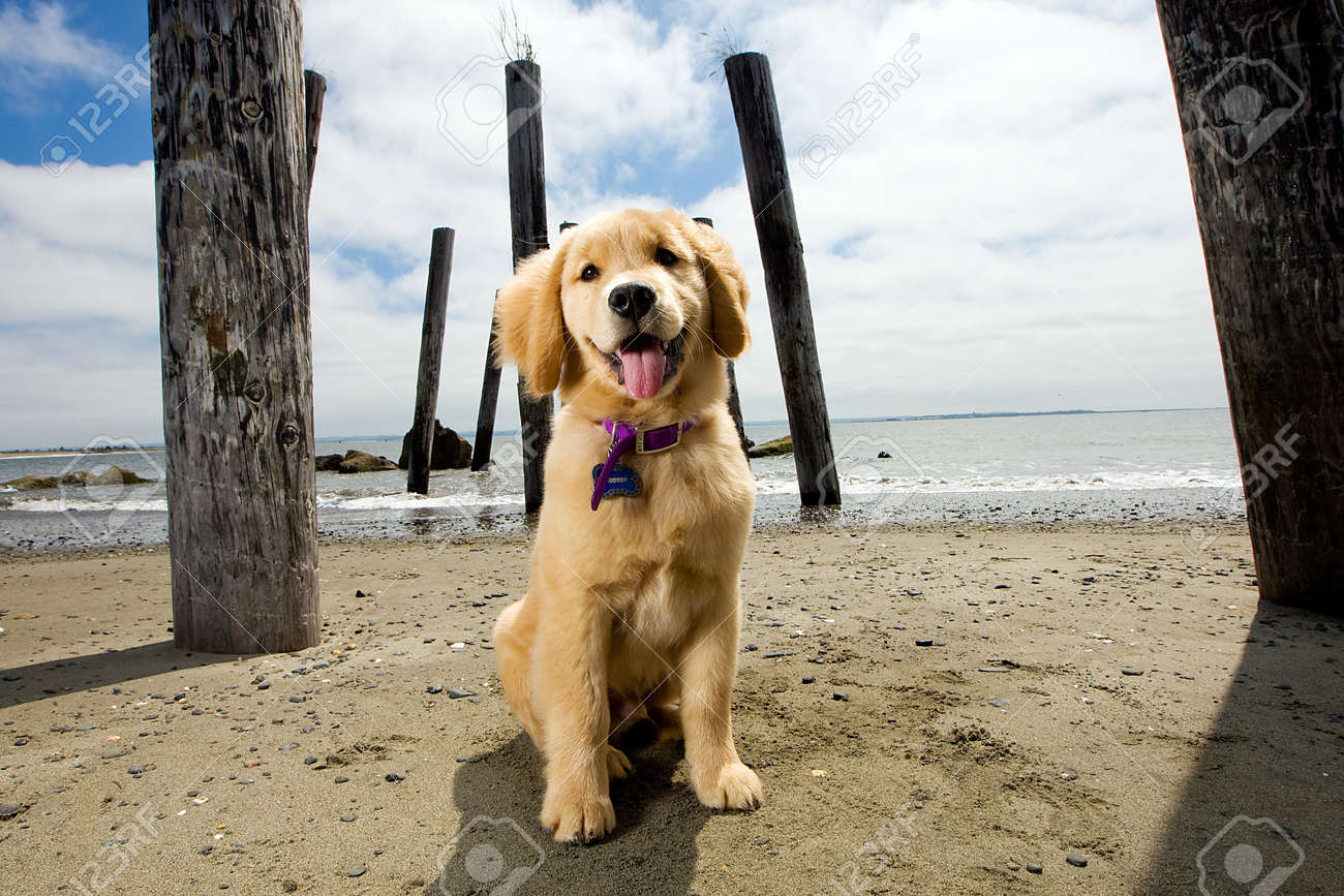 Golden Retriever Puppy Stock Photo - 10944739