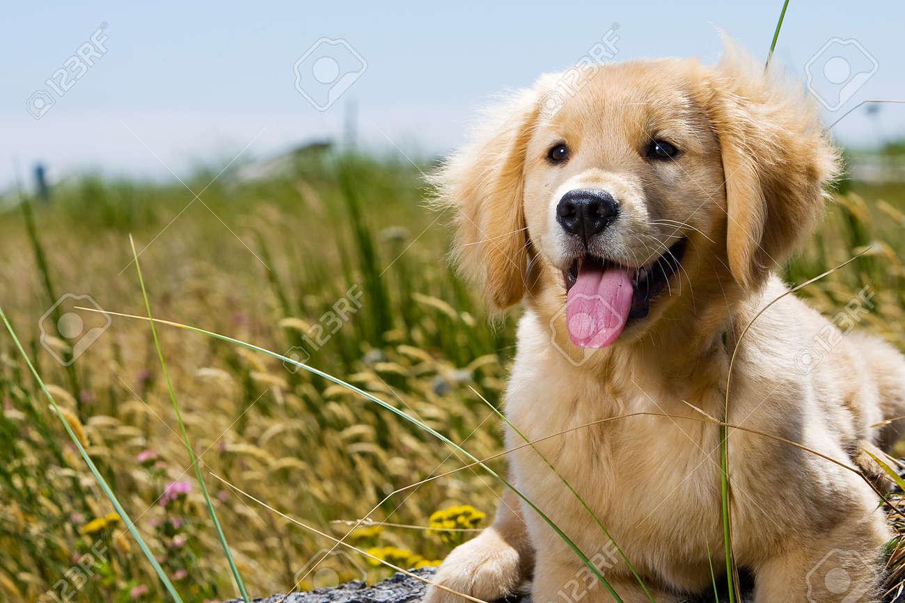 Golden Retriever Puppy Stock Photo - 10731971