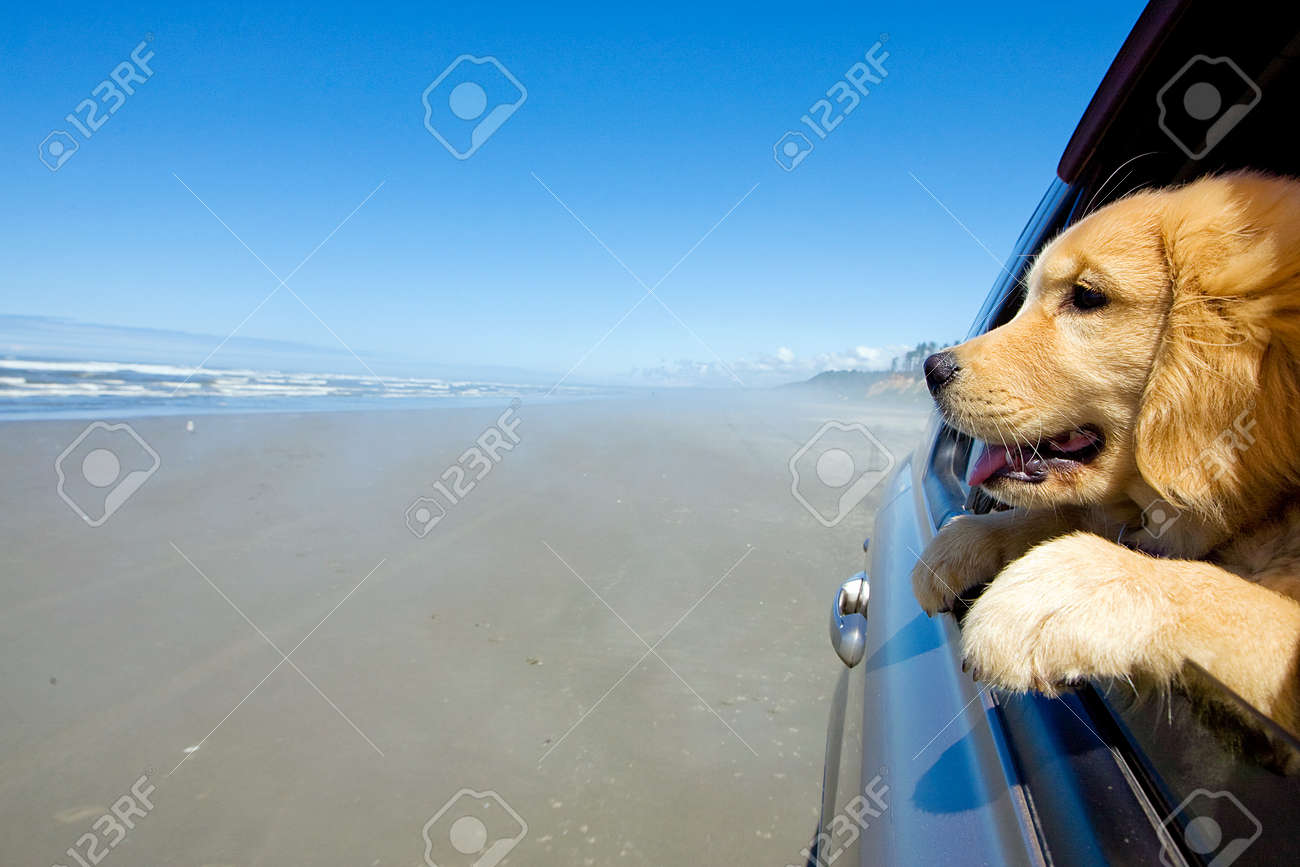 Puppy dog with head out car window at the beach Stock Photo - 10741219