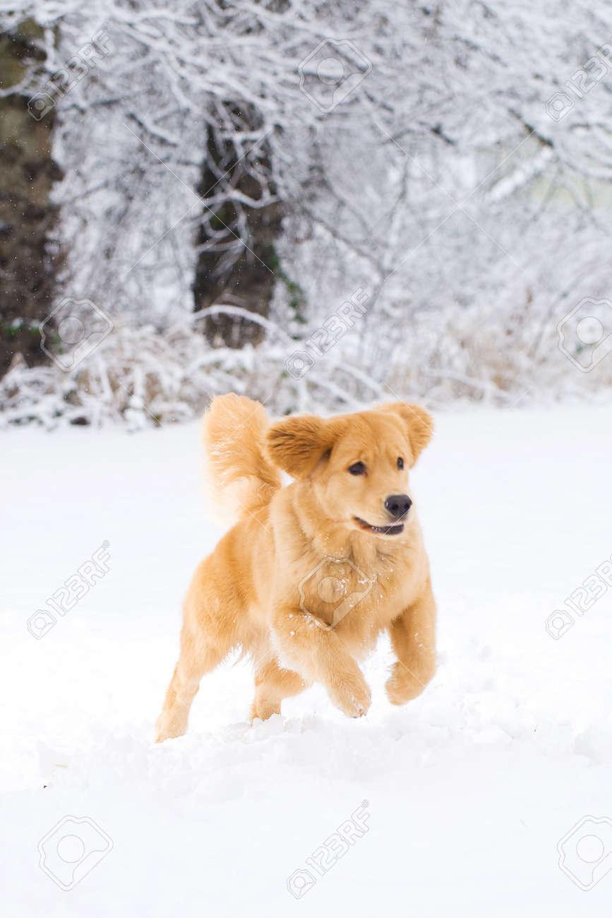Beautiful Golden Retriever Dog in the snow Stock Photo - 12010298