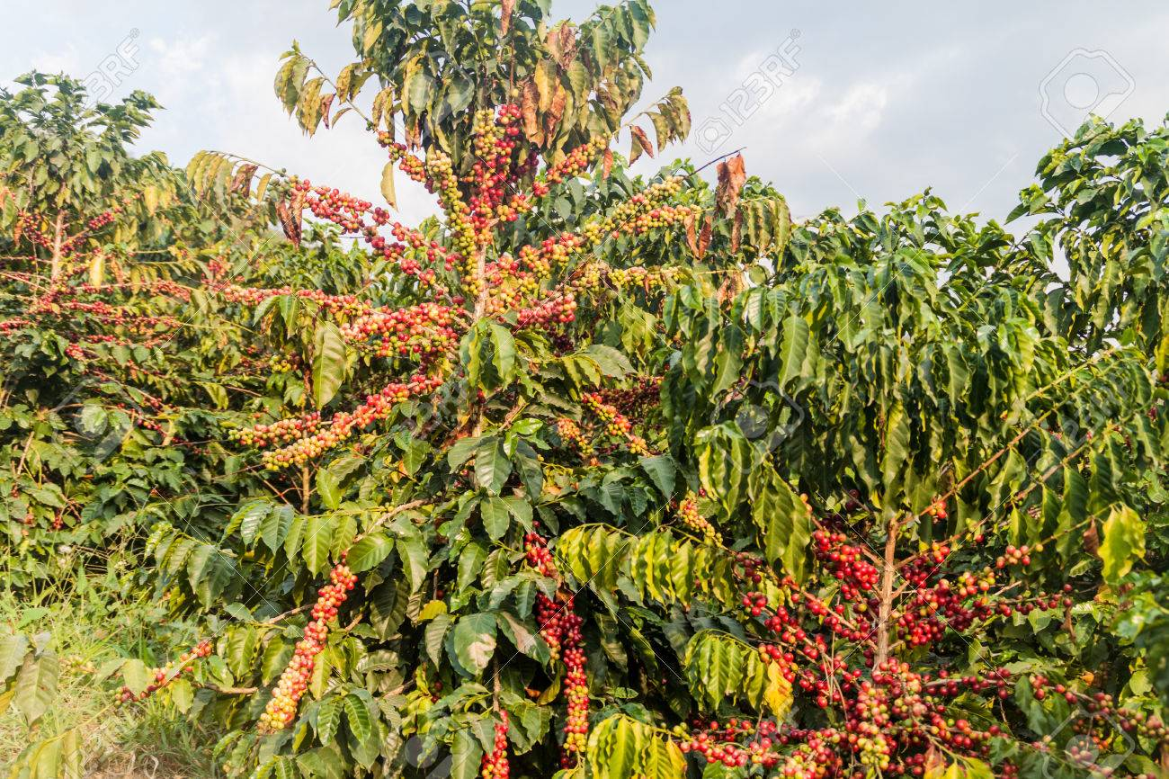 Coffee plantation near Manizales, Colombia - 60072057