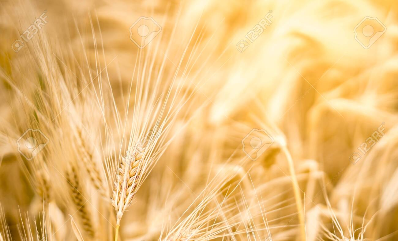 Barley on farmland with sundlight as background. High quality photo with space for text - 148937420