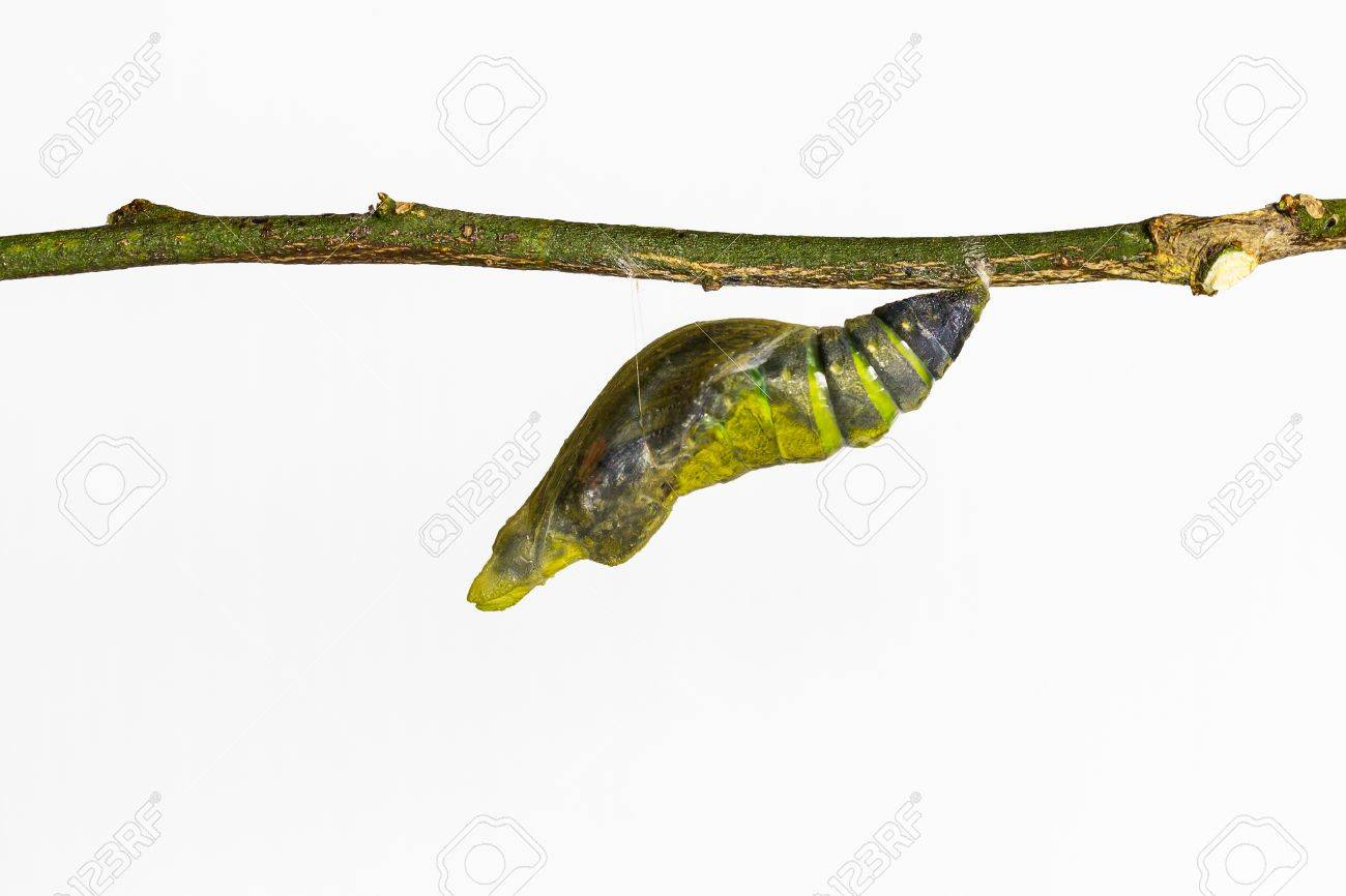 Mature pupa of Common mormon butterfly in white background - 17587836