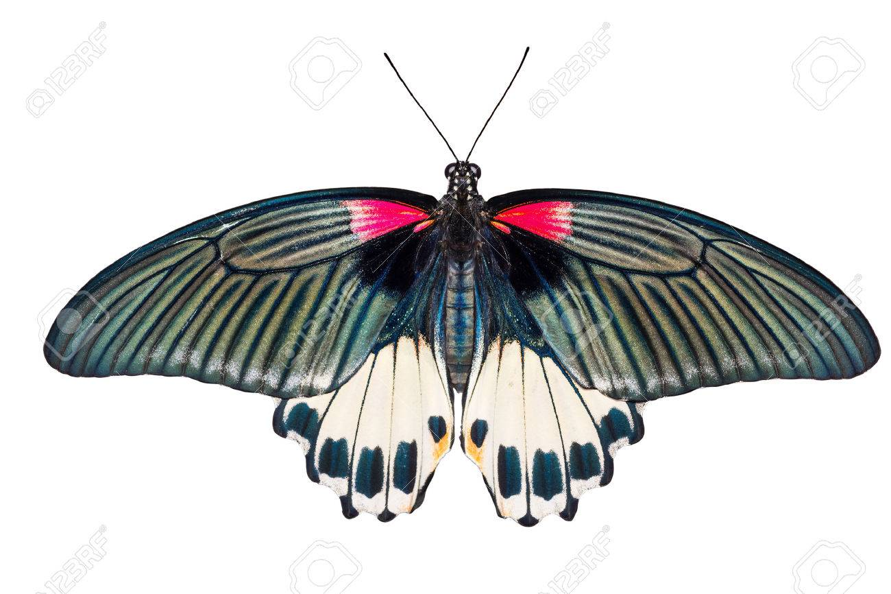 Top view of female Great mormon Butterfly - 24547424