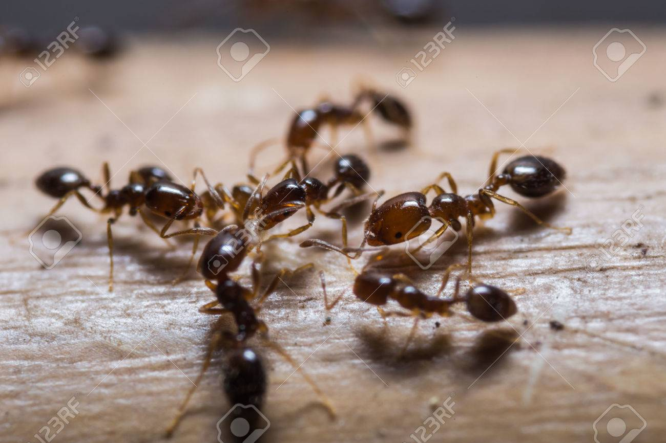 Close up of red imported fire ants  Solenopsis invicta  or simply RIFA Stock Photo - 28632981
