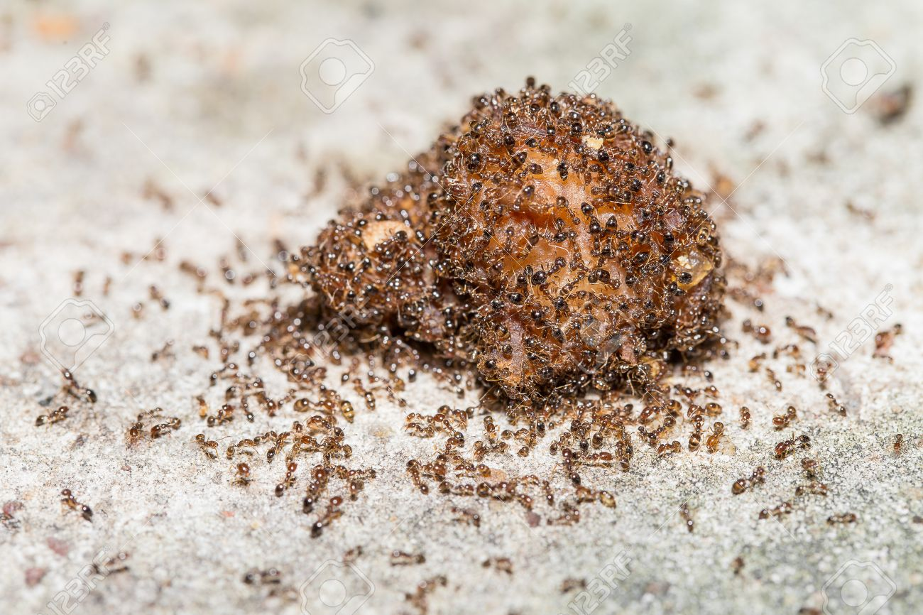 Close up of red imported fire ants eating meat - 30548329
