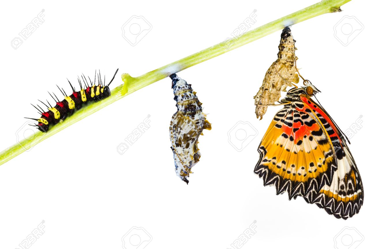Leopard lacewing (Cethosia cyane euanthes) butterfly , caterpillar, pupa and emerging - 33035942