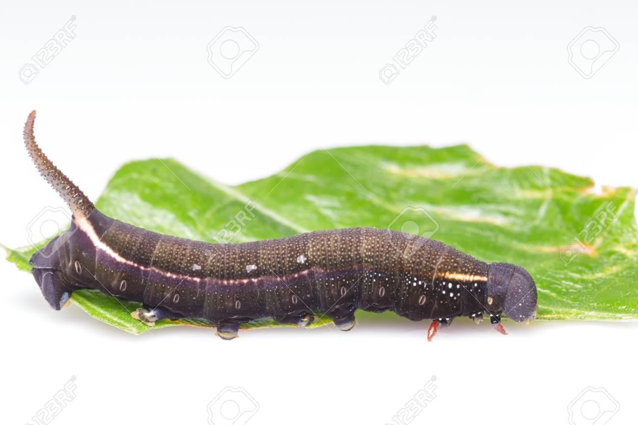 幼虫 ちょうちょ