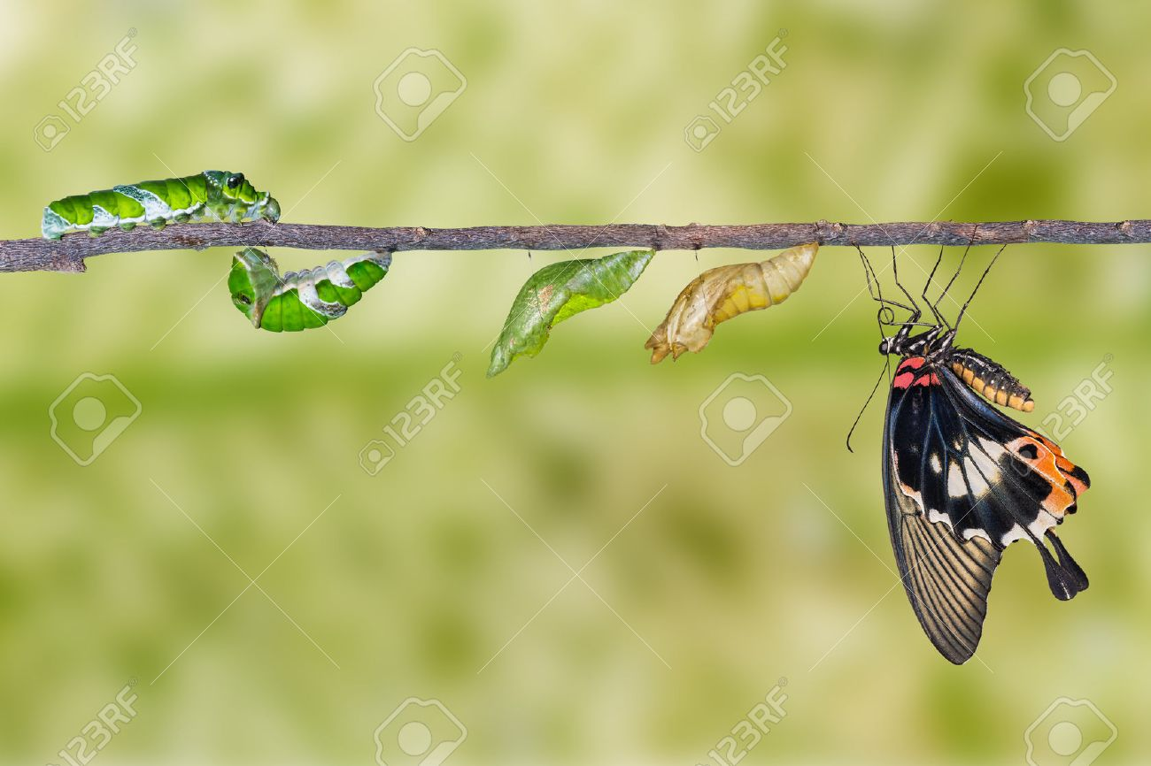 Life cycle of great mormon butterfly from caterpillar - 51016307
