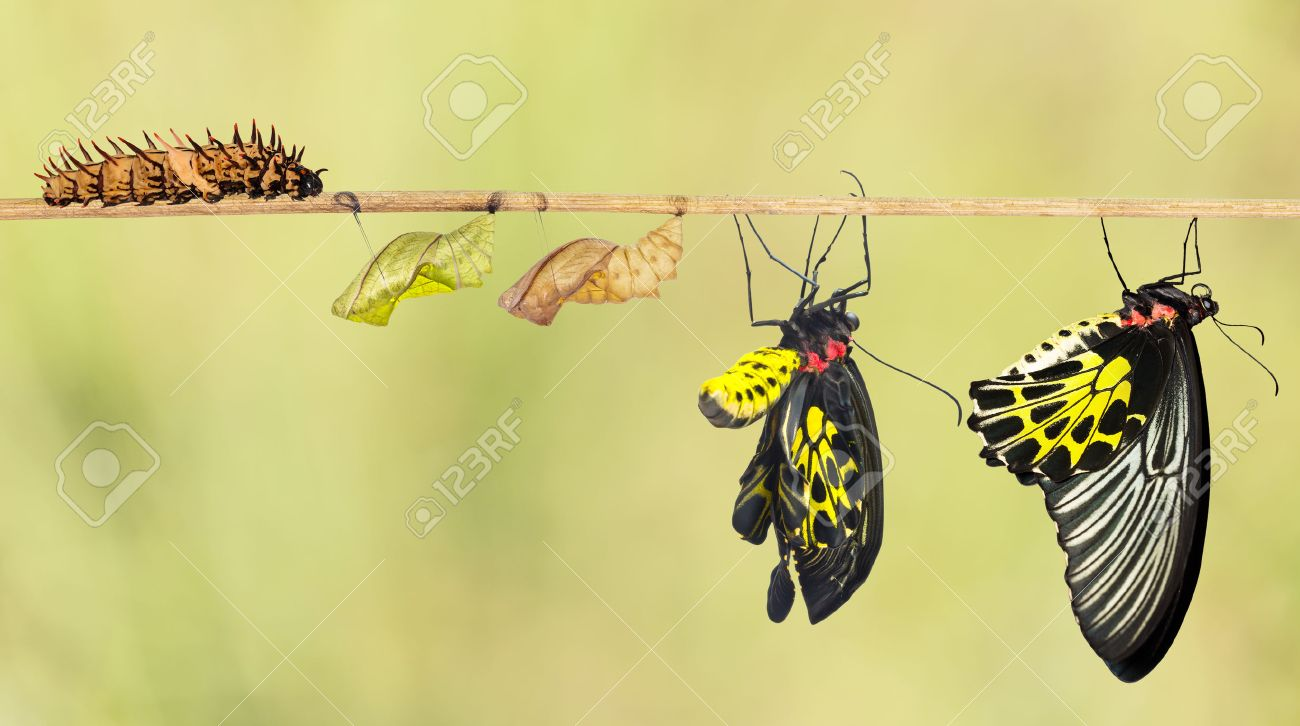 Life cycle of common birdwing butterfly from caterpillar - 54230145