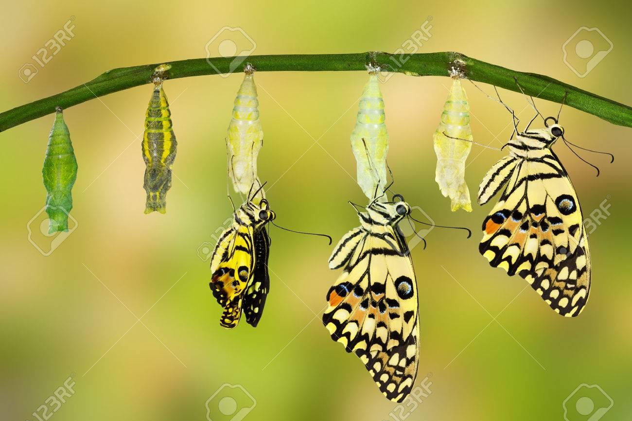 Transformation of Lime Butterfly ( papilio demoleus ) - 54230322