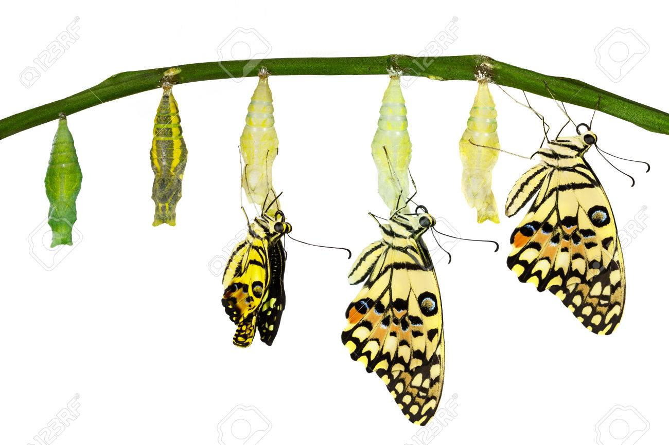 Isolated transformation of Lime Butterfly (papilio demoleus) with clipping path - 54230407