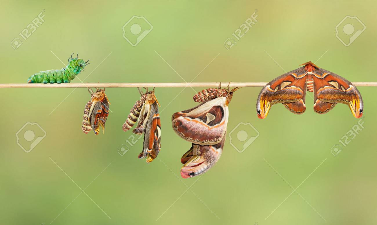 Life cycle of attacus atlas moth from caterpillar - 56462941