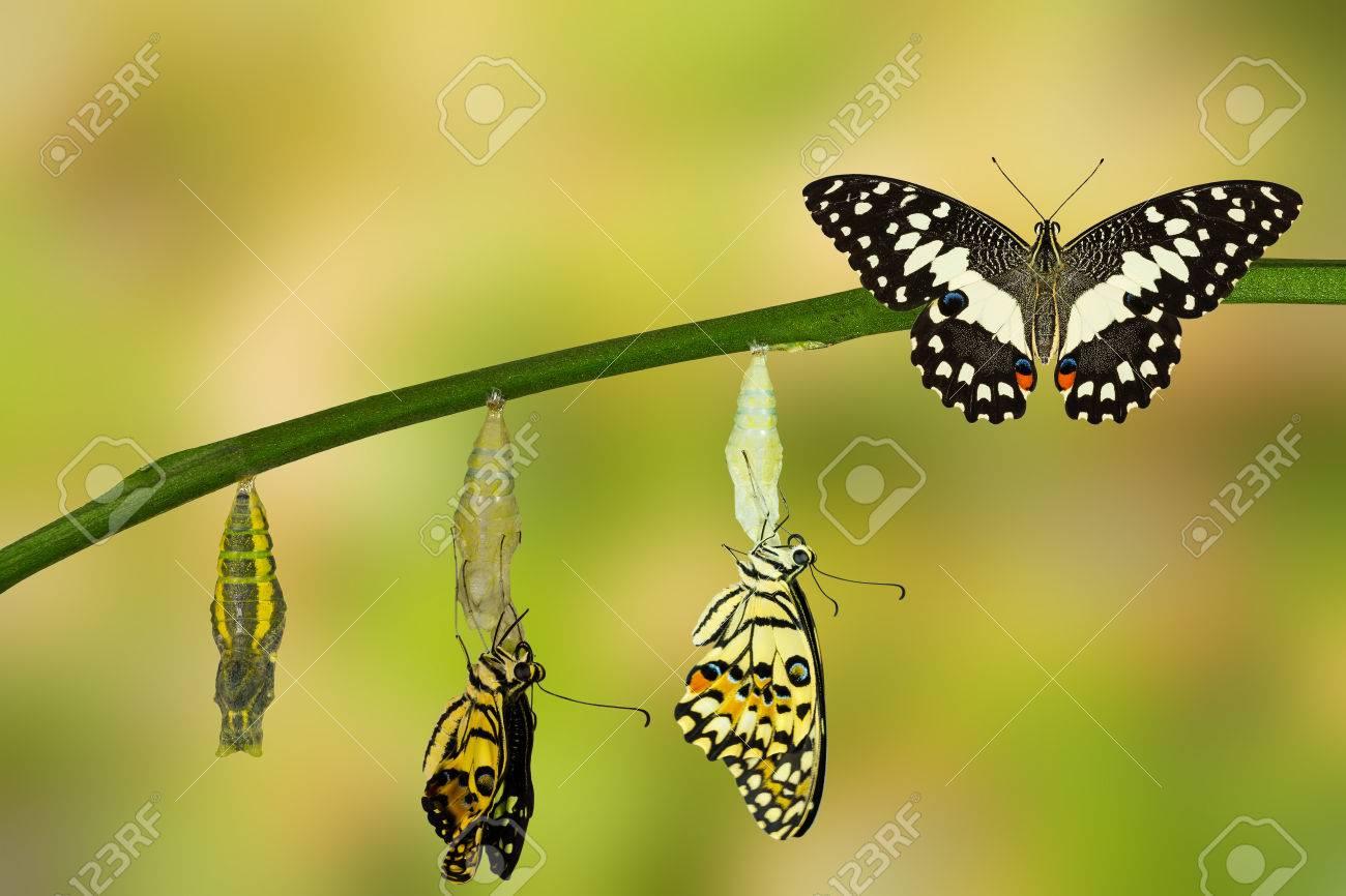 Transformation of Lime Butterfly ( papilio demoleus ) - 60093020