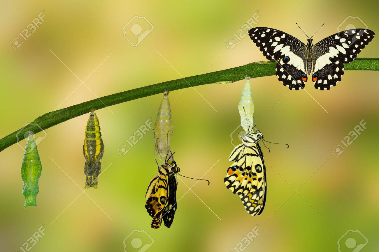 Transformation of Lime Butterfly ( papilio demoleus ) - 60174986