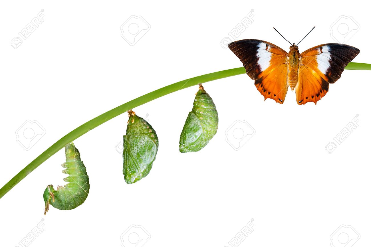 Isolated life cycle of Tawny Rajah butterfly with caterpillar and chrysalis on white - 60174996