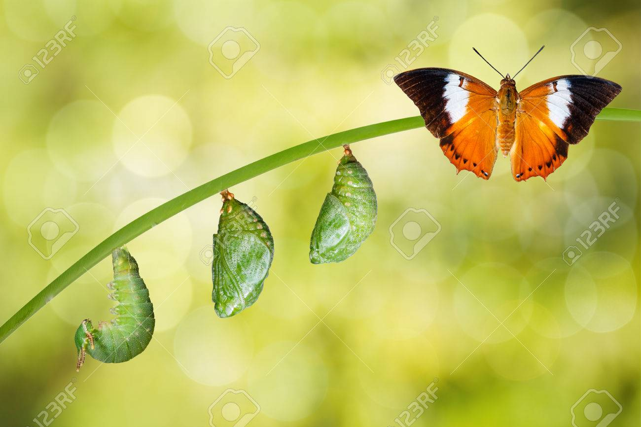 Isolated life cycle of Tawny Rajah butterfly with caterpillar and chrysalis - 60175004