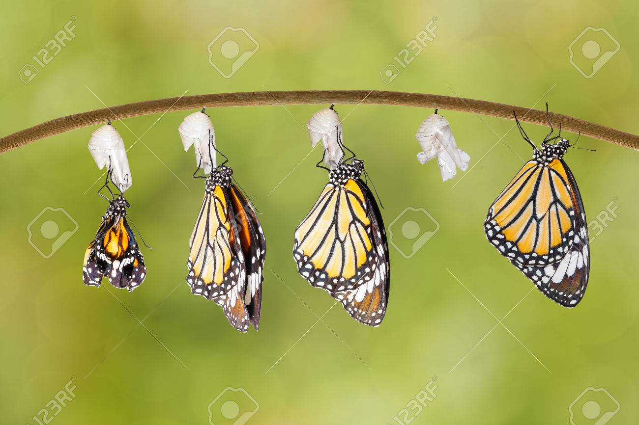 Transformation of common tiger butterfly emerging from cocoon on twig - 60898319
