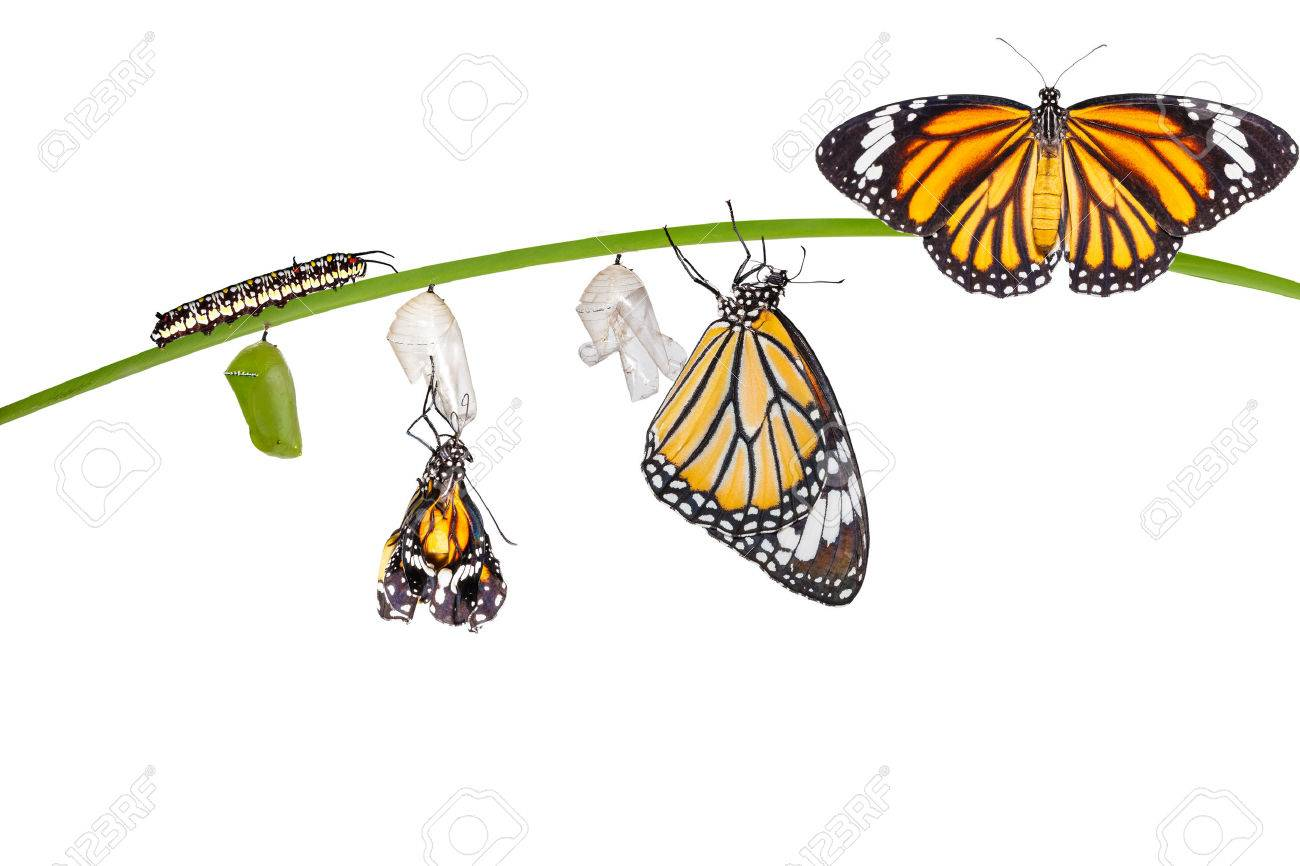 Isolated transformation of common tiger butterfly emerging from cocoon on twig with clipping path - 60863727