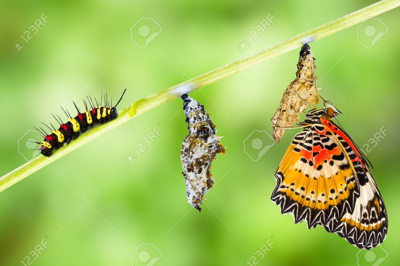Leopard lacewing (Cethosia cyane euanthes) butterfly , caterpillar, pupa and emerging - 60865420